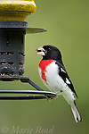 Rose-breasted Grosbeak (Pheucticus ludovicianus) male on a backyard bird feeder eating a sunflower seed, New York, USA.