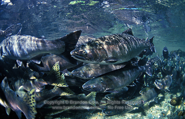 mj4. Coho Salmon (Oncorhynchus kisutch)- front and center- and a few Pink Salmon (Oncorhynchus gorbuscha), left and right. Pacific Northwest. .Photo Copyright © Brandon Cole. All rights reserved worldwide.  www.brandoncole.com..This photo is NOT free. It is NOT in the public domain. This photo is a Copyrighted Work, registered with the US Copyright Office. .Rights to reproduction of photograph granted only upon payment in full of agreed upon licensing fee. Any use of this photo prior to such payment is an infringement of copyright and punishable by fines up to  $150,000 USD...Brandon Cole.MARINE PHOTOGRAPHY.http://www.brandoncole.com.email: brandoncole@msn.com.4917 N. Boeing Rd..Spokane Valley, WA  99206  USA.tel: 509-535-3489