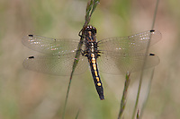 Dot-tailed Whiteface (Leucorrhinia intacta) Dragonfly - Female, Ward Pound Ridge Reservation, Cross River, Westchester County, New York