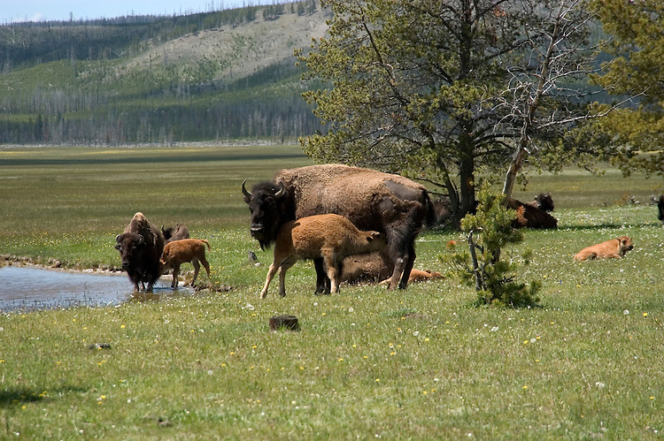 WY: Wyoming; Yellowstone National Park.In Midway Geyser Basin,.bison..Photo #: yellow1546.Photo copyright Lee Foster, 510/549-2202, lee@fostertravel.com, www.fostertravel.com..