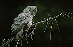 Portrait of a great gray owl perched on a branch in Yellowstone National Park.
