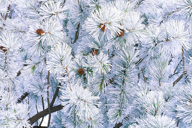 Frost covered trees and branches of a ponderosa pine tree during a Montana winter