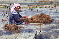 """Jambiani, Zanzibar, Tanzania.  Woman Preparing to Plant Seaweed.  In three weeks it can be harvested, to export to Asian markets after drying.   Tending the plots can only be done at low tide.  Women receive about twelve cents per kilo, """"thin and dried."""""""