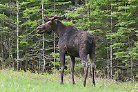 Young Bull Moose standing along the edge of a forest