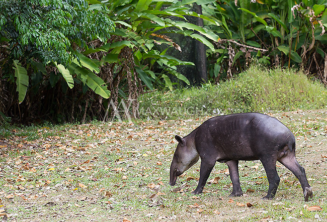 The Baird's tapir is Central America's largest native mammal.