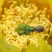 Sweat bee is a common name for various bees that are attracted to the salt in human sweat. Seen here collecting cactus bloom pollen in May.