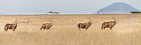 Common Eland standing in a line on the open plains, Kenya, Africa (photo by Wildlife Photographer Matt Considine)