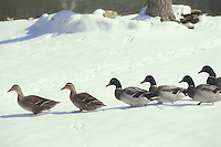 Ducks walking down to the lake carefully waiting for real spring to come