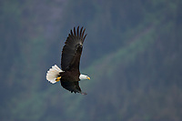 Bald Eagle in flight, Barry Arm, Prince William Sound, Alaska