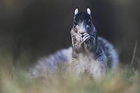 Eastern Fox Squirrel (Sciurus niger), adult eating, Raleigh, Wake County, North Carolina, USA