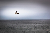 A lone Brown pelican in flight over the gray Pacific waters off California's coast. 2 of 3.