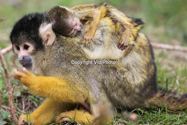 Foto: VidiPhoto..APELDOORN - Een ware apenexplosie in de Apenheul in Apeldoorn. Woensdag zijn er opnieuw twee doodshoofdaapjes geboren, waarmee het aantal geboorten bij deze apensoort nu op vier stuks komt. In totaal worden vijftien jonge doodshoofdaapjes verwacht. Apenheul heeft op dit moment 129 doodshoofdaapjes en bezit daarmee wereldwijd de grootste groep in een dierentuin. Verder zijn er inmiddels al vier ringstaartmaki's, een slingeraap en een rode brulaap geboren..