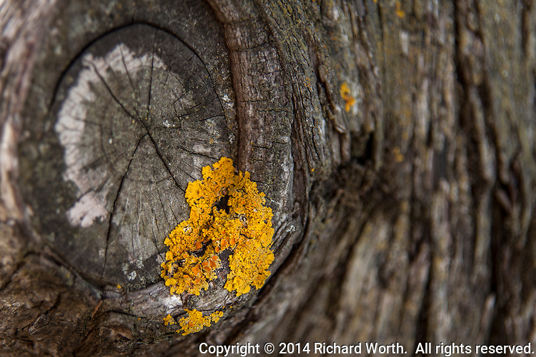 A golden corsage with fungal roots adorns a weathered tree knot in a park bordering San Francisco Bay.