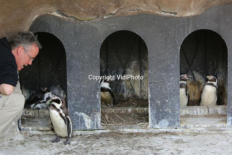 Foto: VidiPhoto<br /> <br /> RHENEN - Dierverzorger Pieter Hendriks van Ouwehands Dierenpark in Rhenen controleert dinsdag de hokken van de Zuid-Amerikaanse humbold pinguins. De dieren hebben de lente veel te vroeg in hun bol en produceren nu al eieren. Door steeds te controleren wanneer er eieren worden gelegd, weet Ouwehands ook wanneer de eerste jongen worden geboren. Broedende pinguins blijven bovendien op het nest zitten en moeten met de hand gevoerd worden om te voorkomen dat ze verhongeren. Foto: Nog geen ei? Aan de slag dan.