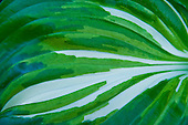 Switzerland. Springtime. Close-up of a striated leaf gives a lovely natural texture.