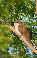 513510006 a black-billed cuckoo coccyxus erythropthiamus rests in a mesquite tree on south padre island cameron county texas united states