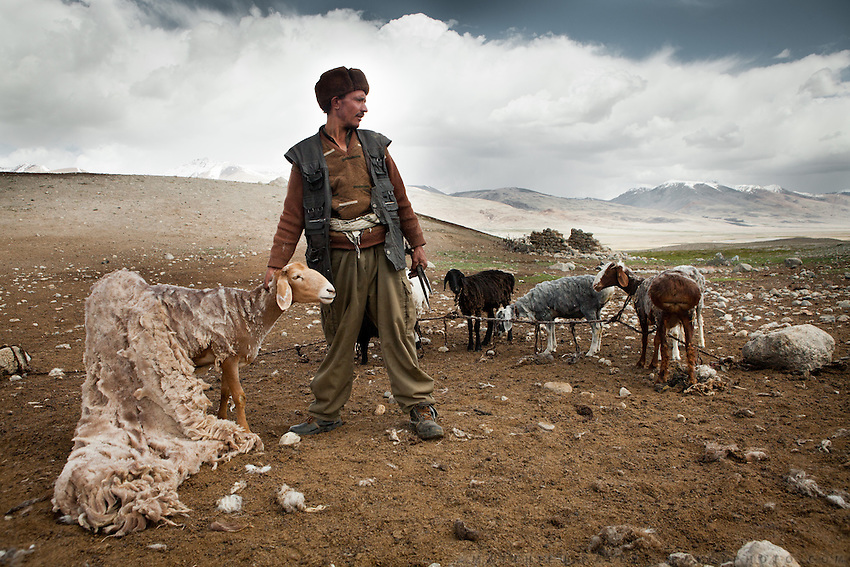 A hired Wakhi man, coming from the lower valleys, does the arduous job of sheering the sheep owned by Er Ali Boi, a wealthy Kyrgyz man. He is paid 1 sheep/month..Summer camp of Muqur, Er Ali Boi's place...Trekking through the high altitude plateau of the Little Pamir mountains (average 4200 meters) , where the Afghan Kyrgyz community live all year, on the borders of China, Tajikistan and Pakistan.