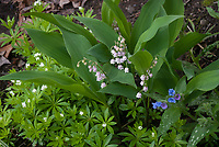 Pink Lily of the Valley in flower, Convallaria majalis rosea, Sweet woodruff Galium odoratum, Pulmonaria in bloom, shade garden plants in spring