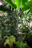 Tropical Rainforest Glasshouse (formerly Le Jardin d'Hiver or Winter Gardens), 1936, René Berger, Jardin des Plantes, Museum National d'Histoire Naturelle, Paris, France. Low angle view from the ground of Musa plants and palm trees surrounded by luxuriant Tropical vegetation.