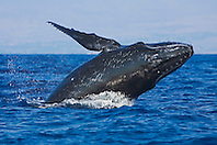 Humpback Whale calf, breaching and breathing, Megaptera novaeangliae, Hawaii, Pacific Ocean.