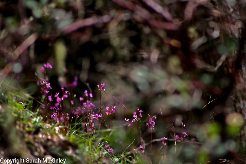 A group of purple-blossomed Henderson's Shooting Star wildflowers under the reddish branches of manzanita along Muir Mill Road in Willits in Mendocino County in Northern California.