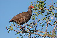 Swainson's Spurfowl or Francolin (Pternistis swainsonii), South Africa