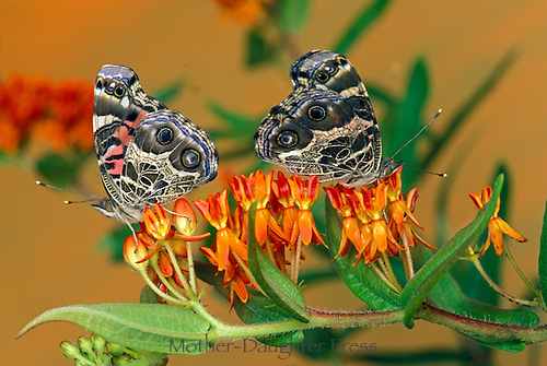 Two Painted lady butterflies, Vanessa cardui, on butterfly