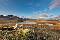 Mountain aven blossoms along the Nigu river, National Petroleum Reserve, Alaska.