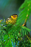 591720002 a wild male cape may warbler setophaga tigrina - was dendroica tigrnia - perches in the top of a mesquite tree on south padre island in texas