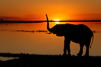 Silhouette of an Elephant (Loxodonta africana) at sunset on the Chobe River.
