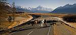 Musterers with horses and dogs moving mob of sheep on the Mount Cook Road in the Mackenzie Country. Mount Cook in background. Canterbury Region. New Zealand.