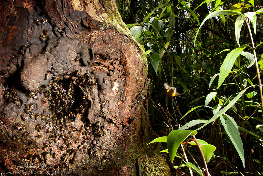 Honey bee nest in hollow tree {Apis sp} in rainforest. Andasibe-Mantadia National Park, Eastern Madagascar.