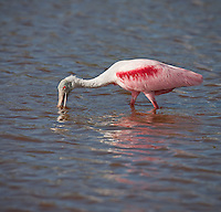 Roseate Spoonbill  sweeping spoonbill back and forth in the water fishing for prey