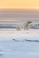 Polar bear sow and cub walk in the strong winds on Barter Island, Alaska.