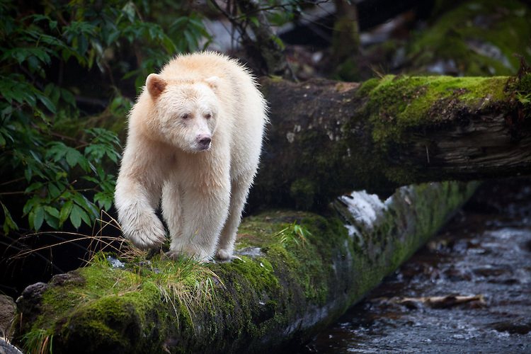 "Kermode ""Spirit"" Bear walking down a moss-covered log"