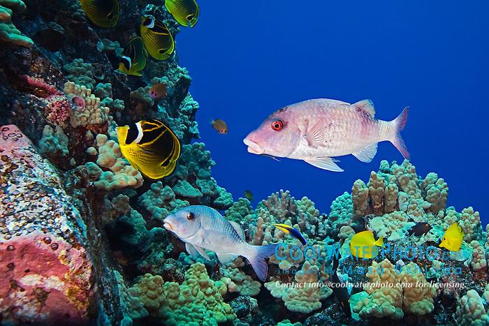 Doublebar goatfish raccoon butterflyfish hawaiian for Hawaiian fish identification