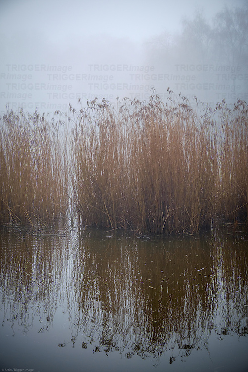 Reeds in a park pond with reflections