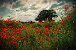 Romantic English landscape with red poppies growing wild in a field under a summer sky, image has texture.