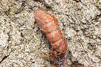 A newly formed Gypsy Moth (Lymantria dispar) pupa is attached to the side of an oak tree.