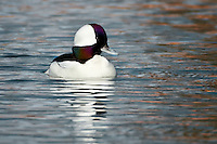 Bufflehead on water