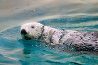 California sea otter, Enhydra lutris nereis, California, North East Pacific Ocean (c)