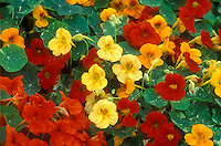 Tropaeoleum 'Alaska Mixed' nasturtiums in variety of colors, red, orange, yellow, scarlet, with variegated leaf foliage