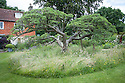 Ancient cherry at the heart of the Cherry Tree Garden, Fairlight End, Pett, East Sussex, late June.