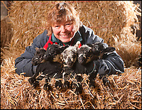 BNPS.co.uk (01202 558833).Pic: Phil Yeomans/BNPS..Five in a million........Shropshire farmer Dinah Thompson(55) was amazed when her prize ewe 'Mrs Holmes' delivered a quintuplet of tiny lambs this week at her farm near Bewdley...The odds on quintuplets are one in a million, so Dinah could not believe her eyes when four year old Mrs Holmes produced the instant flock. 'I was expecting triplets so after the third popped out I went off for a cup of coffee, when I returned i was amazed to find another two had emerged'..The three girls and two boys are now being bottle fed every four hours as the struggling mum only has two teats to feed her hungry little flock with.