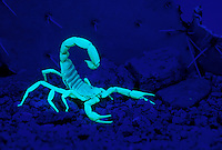 Giant Hairy Scorpion (Hadrurus arizonensis) in defensive posture under black light (ultraviolet light); Sonoran Desert, Arizona