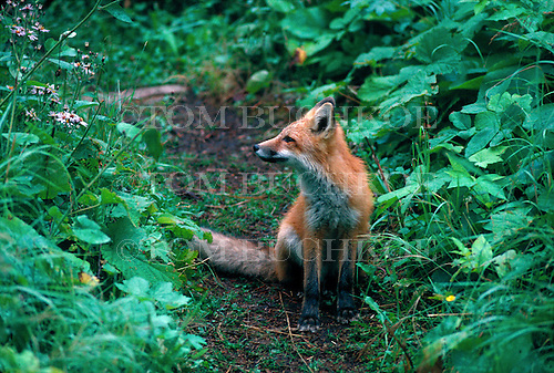 Red Fox, Vulpes vulpes, in the Upper Peninsula of Michigan at Isle Royale National Park.