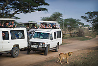 Tourists in safari vehicles watching a young lion.