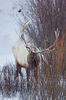 Bull elk, number 10, during winter in Wyoming