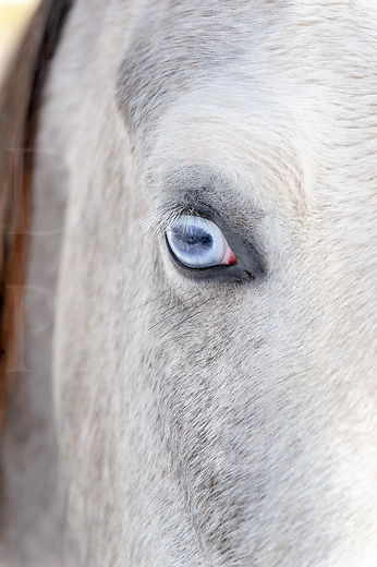A horse with pale blue eyes can be a little shocking as most of them have deep brown or near black eyes. This mare can take a little getting used to at first because of being so unusual, yet this horse is a natural beauty with her even pale gray coat, white face, and those fascinating jewels for eyes. She even has natural mascara for another nature-given asset with all the other bling.<br />