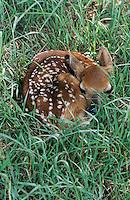 White-tailed Deer, Odocoileus virginianus, fawn in grass camouflaged, Welder Wildlife Refuge, Sinton, Texas, USA, June 2005